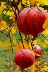 The last pomegranates