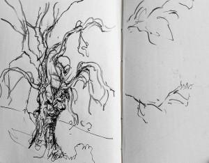 En route to record. Oak tree by Grimm's Ditch. Matthews's quartet on my mind 2 2 15
