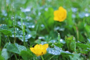 Buttercups and rain in the old Solar of Bergenhus Castle (13th Century) 1 6 16